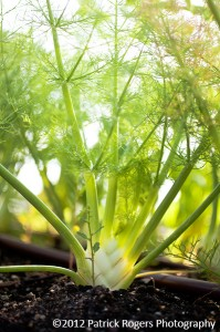 """Magnificent Fennel"" - Ledge Kitchen & Drinks, MA 