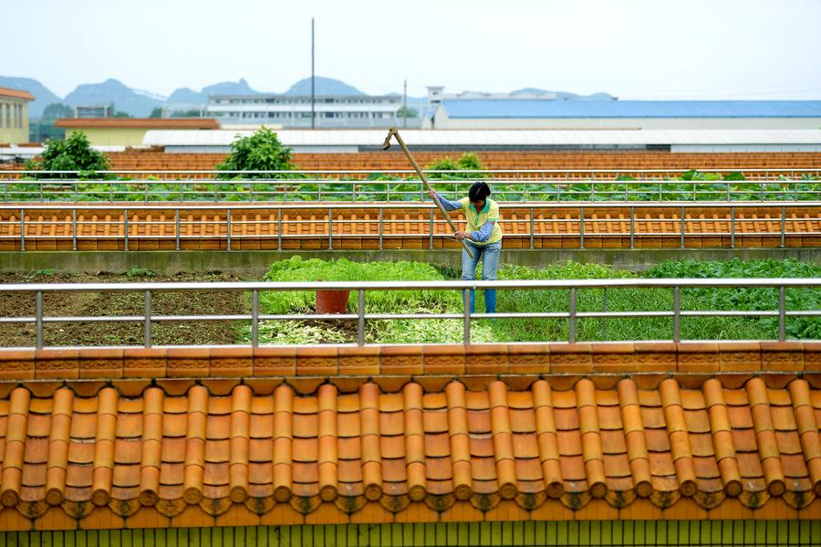 Rooftop rice paddy