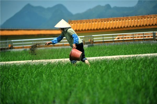Rice paddy_09_byXinhua