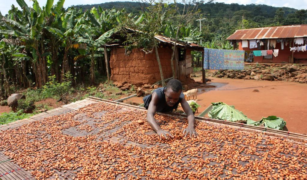 Cacao_Ghana_01_TobyWebb_crop